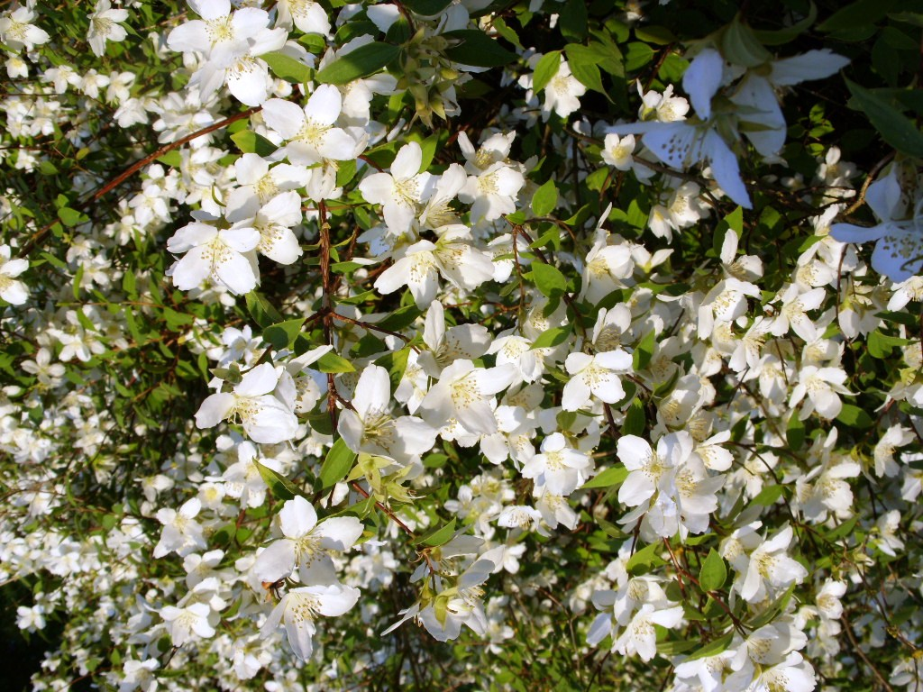 Landscape Bushes With Odor : Kelli s northern ireland garden name that plant