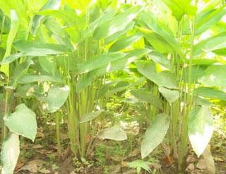 Khasiat Tumbuhan Garut Untuk Kesehtan Tubuh