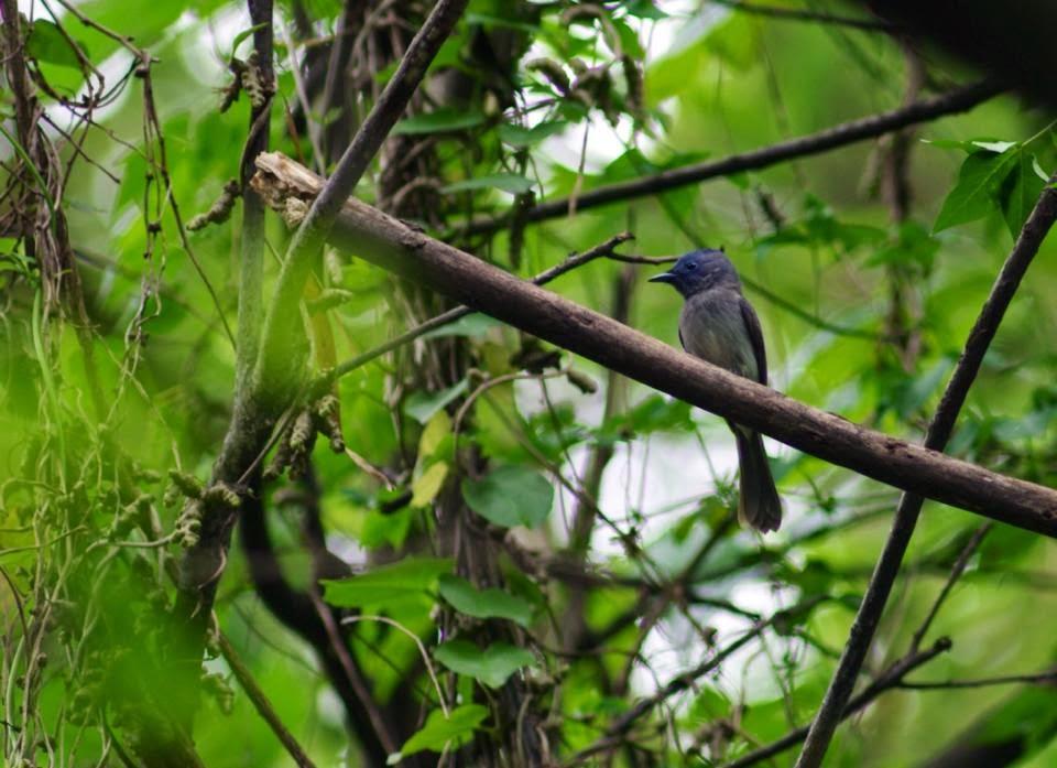 在雞南山的步道上散步常可以聽到黑枕藍鶲的歌聲
