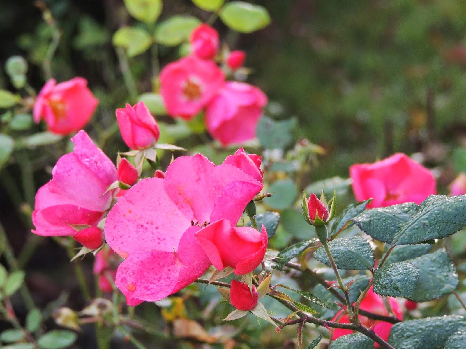 Il etait un petit jard 39 ain chant d 39 automne - Rosier douceur normande ...