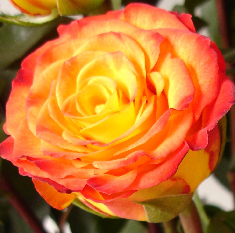 Rosas rosas de colores - Clases de flores amarillas ...