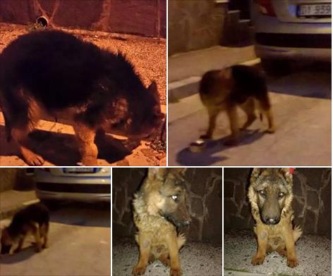 adozione stallo cane epilessia lupo