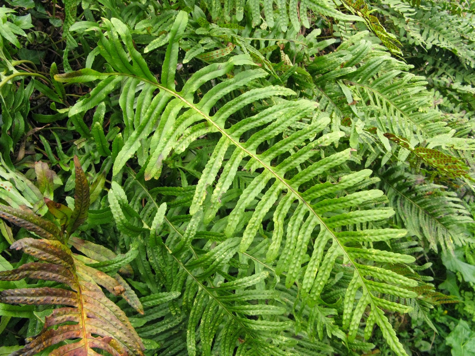 Polypodium cambricum frond shape