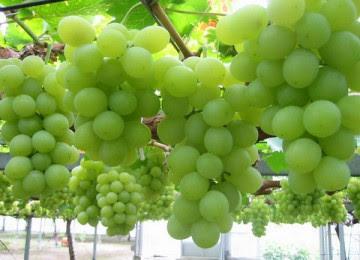 Khasiat Anggur Hijau Untuk Kesehatan