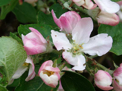 The apple blossom is actually a very pretty little flower.