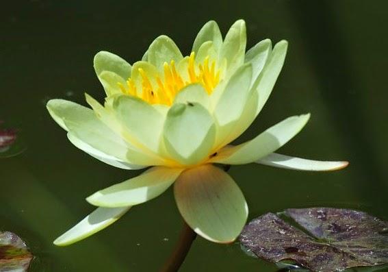 Aneka Manfaat Bunga Teratai Untuk Kesehatan