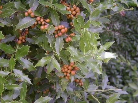 Maytenus ilicifolia