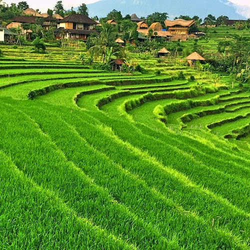 Beautiful paddy field on Bali