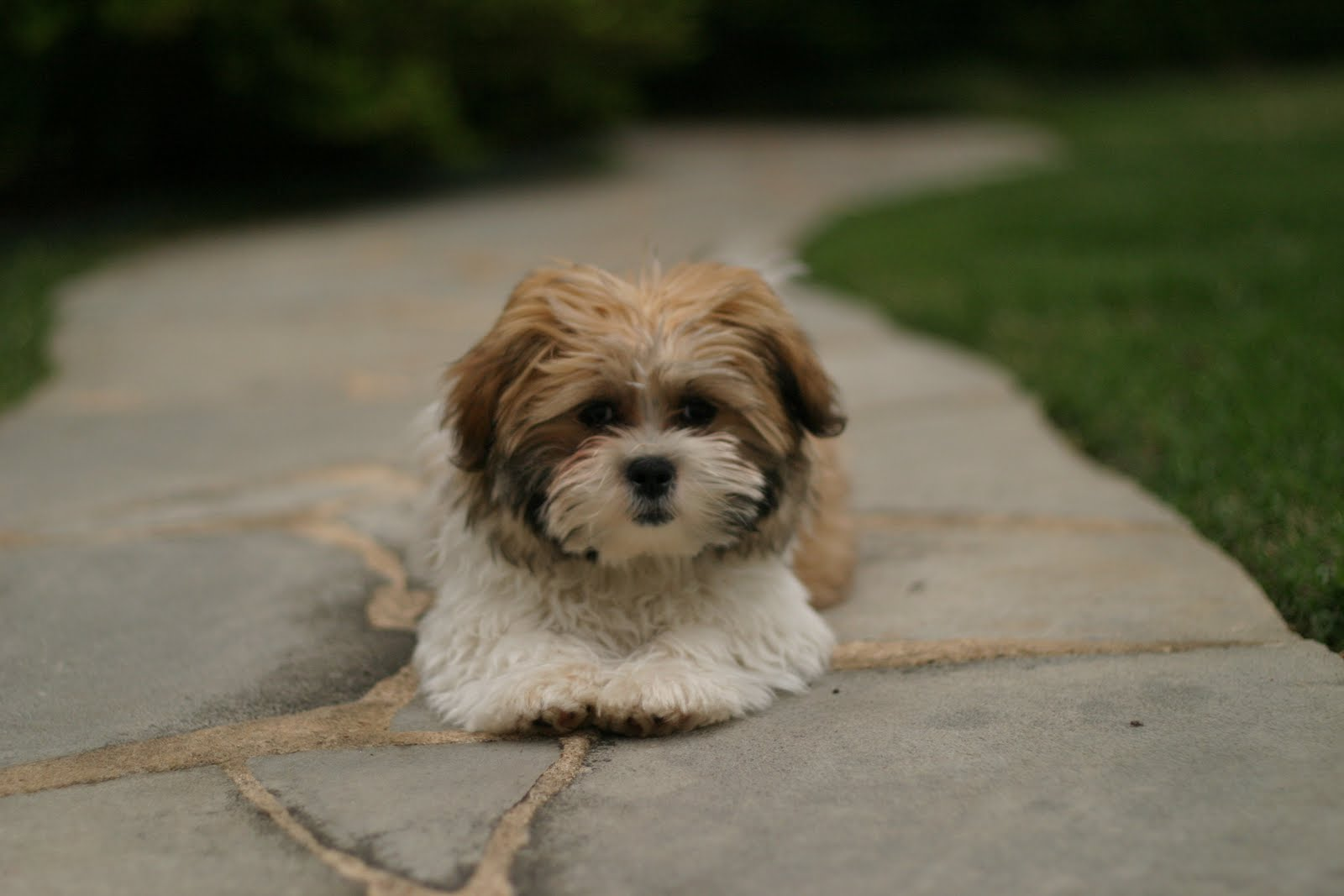 The gallery for --> Maltese Shih Tzu Full Grown