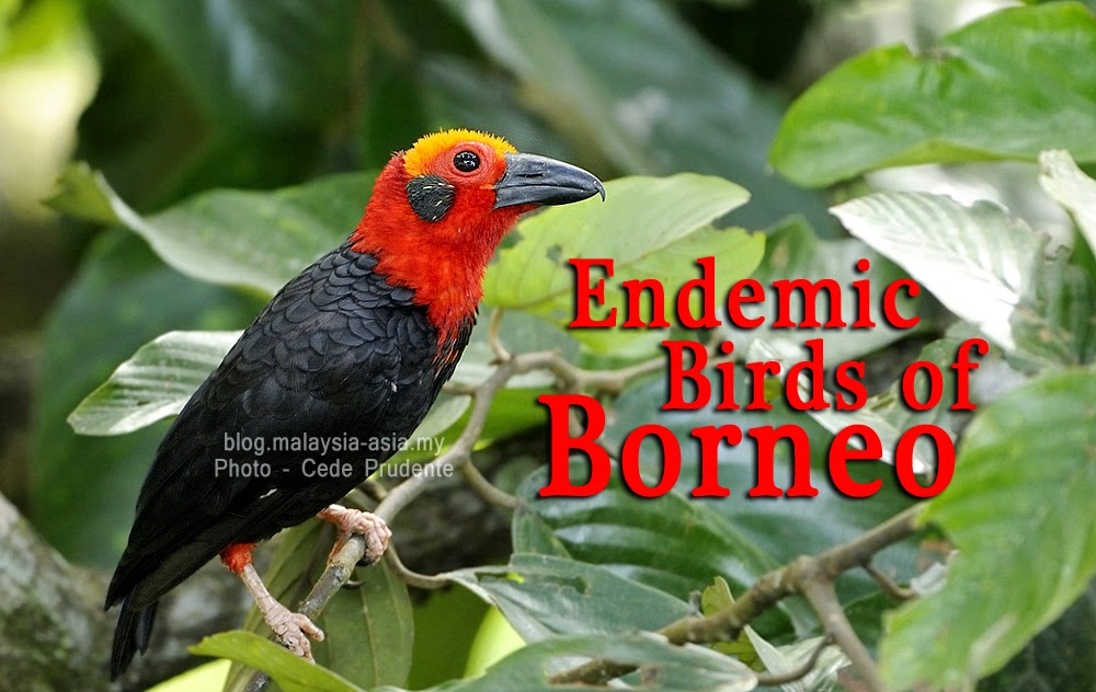 Endemic Birds of Borneo