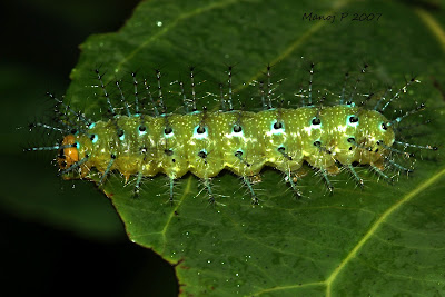 Caterpillar of Southern Rustic Butterfly