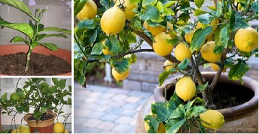how to grow your own endless supply of lemons indoors. Black Bedroom Furniture Sets. Home Design Ideas