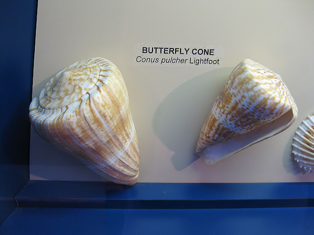 West African Seashells, butterfly cone