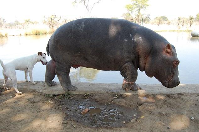 perros amigos hipopótamo abandonado