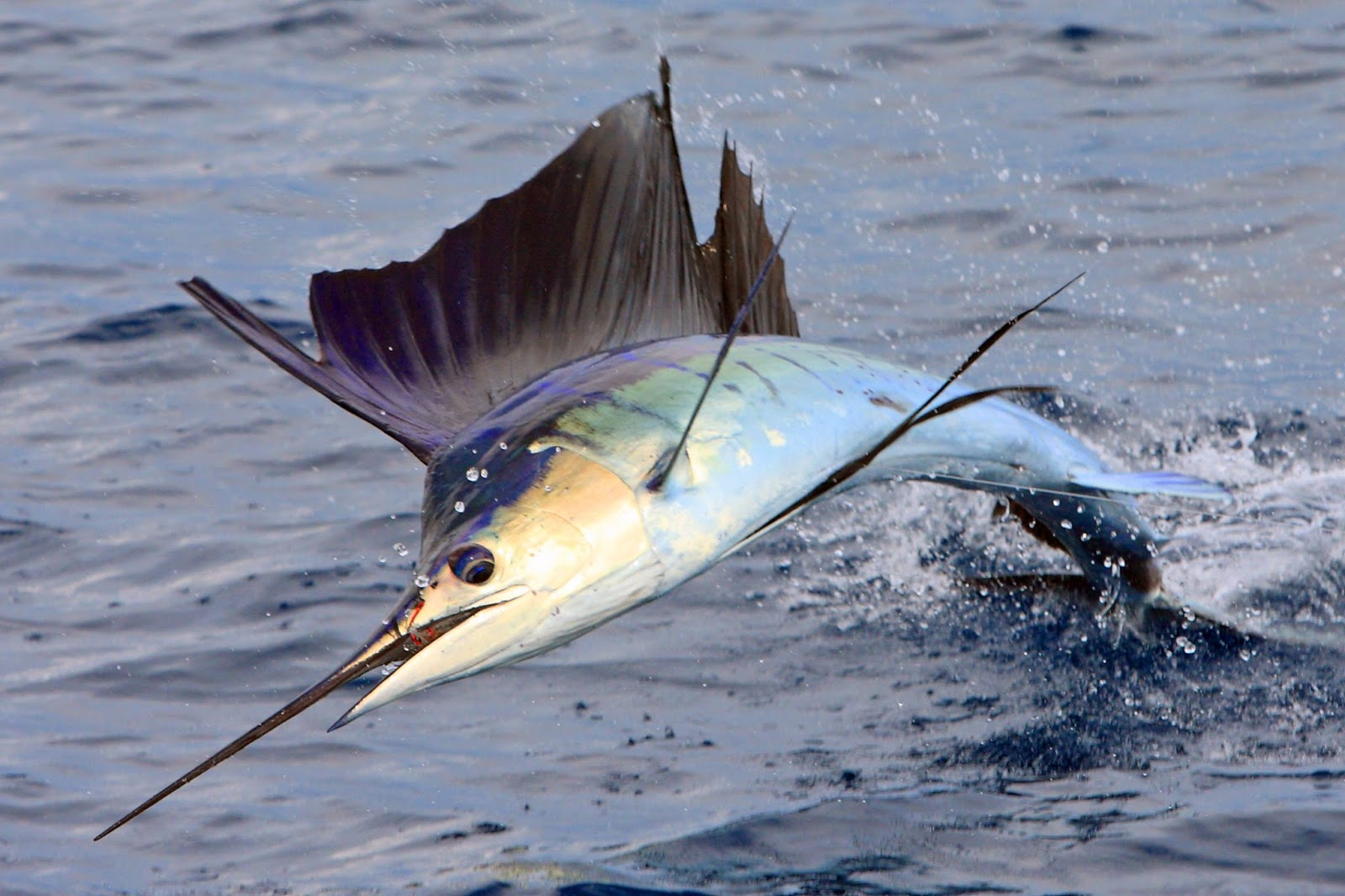Sailfish vs marlin - photo#5