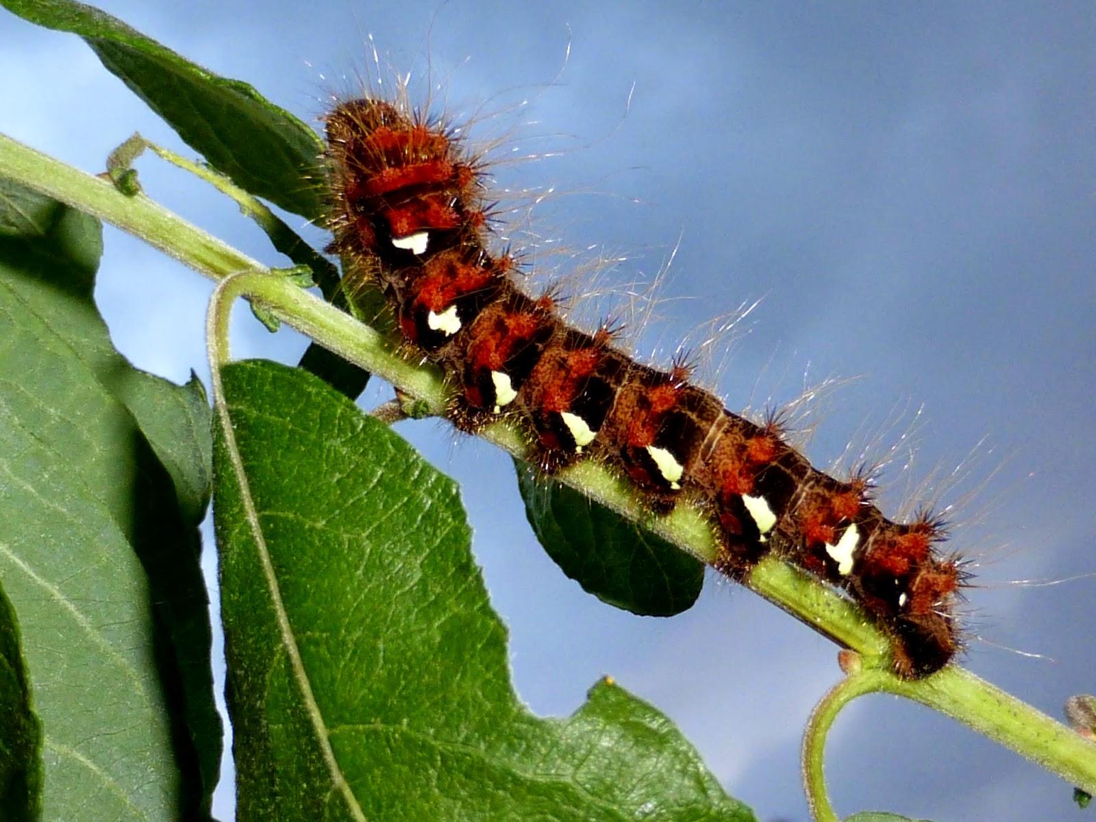 Loepa sikkima caterpillar