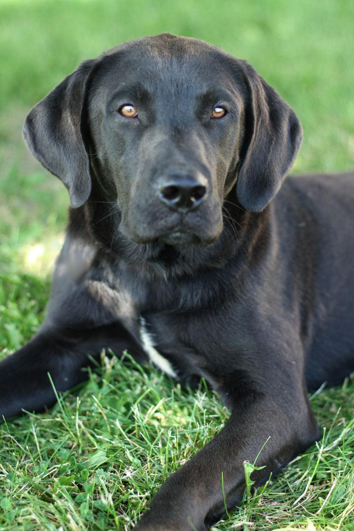 Jimmy - Black Labrador Retriever