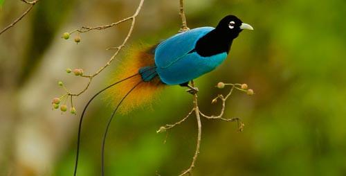Burung-Burung Paling Indah Sedunia
