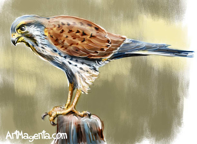 Common Kestrel sketch painting. Bird art drawing by illustrator Artmagenta