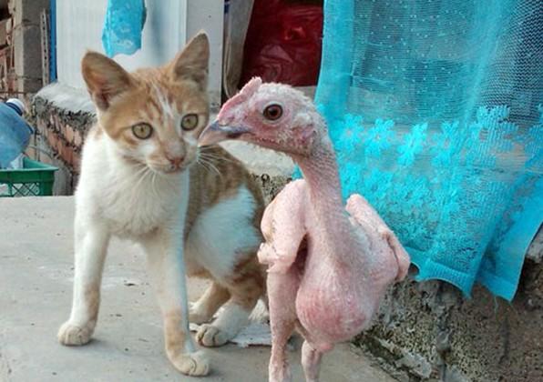 Pollo sin plumas, y gato