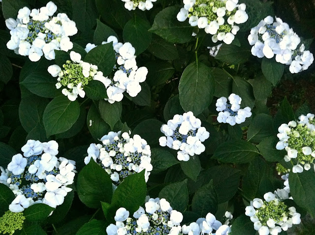 Nighttime-Hydrangeas-in-Farmingdale