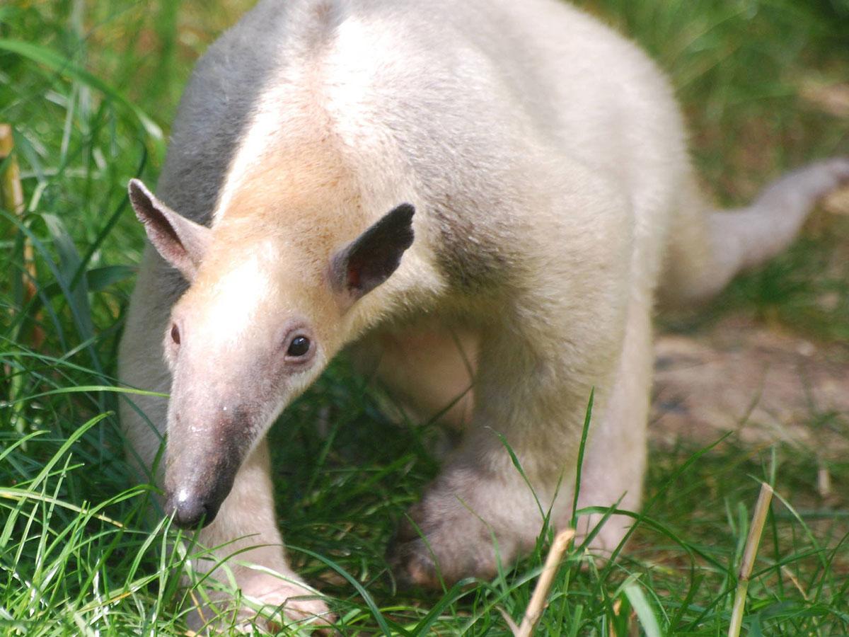 Brazil begins cloning endangered animals