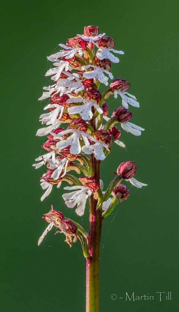 Lady orchid flower spike in late-evening light