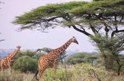 3 cara seleksi alam untuk pewarisan sifat