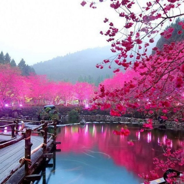 Cherry Blossom Lake  Sakura, Japan