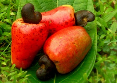 Nigeria cashew exports worth N49.7b