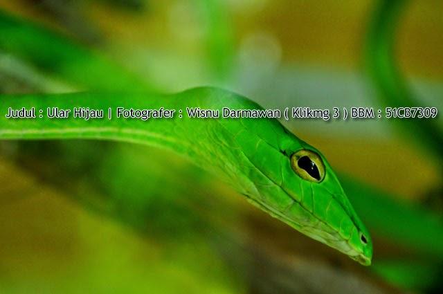 Judul : Ular Hijau || Fotogarfer : Wisnu Darmawan ( Klikmg3 )