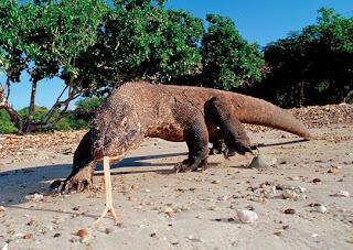 Komodo keajaiban dunia