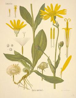 Arnica, Arnica montana L.