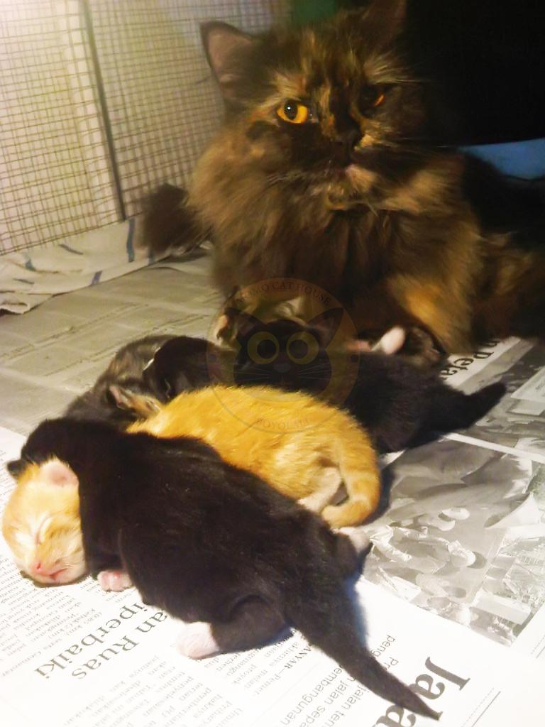 Penanganan Pada Kucing Saat Melahirkan Momo Cat House