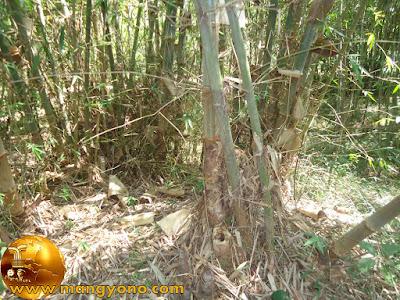 Bambu tumbuh anakan / rebung
