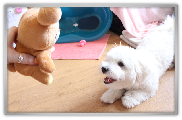 Jofee meets Rilakkuma maltese dog puppy cute kawaii kawai japan relax bear killer youtube video plush