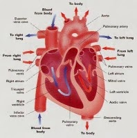Things that You Need to Know About Heart and Heart Disease