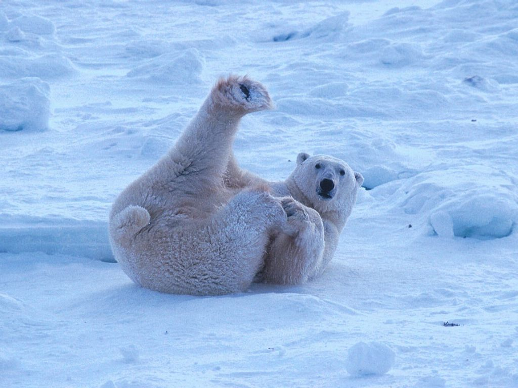 polar bear lounging