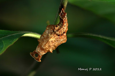 Pupa of commander butterfly