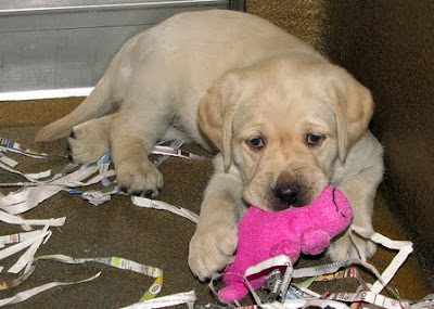 A yellow Lab puppy chewing on a pink toy