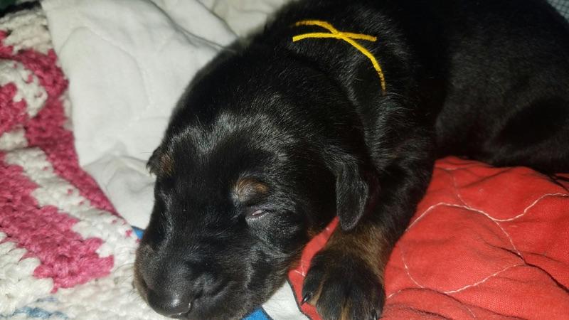 Yellow Collar Male