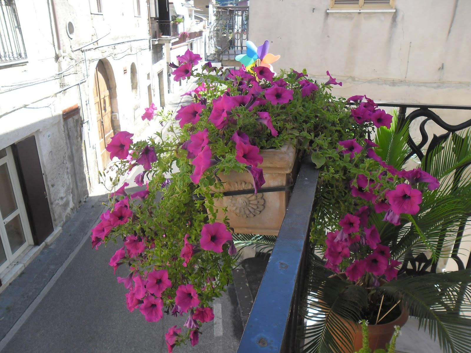 Mamma sciaury le mie piante da balcone quelle che non for Surfinia inverno
