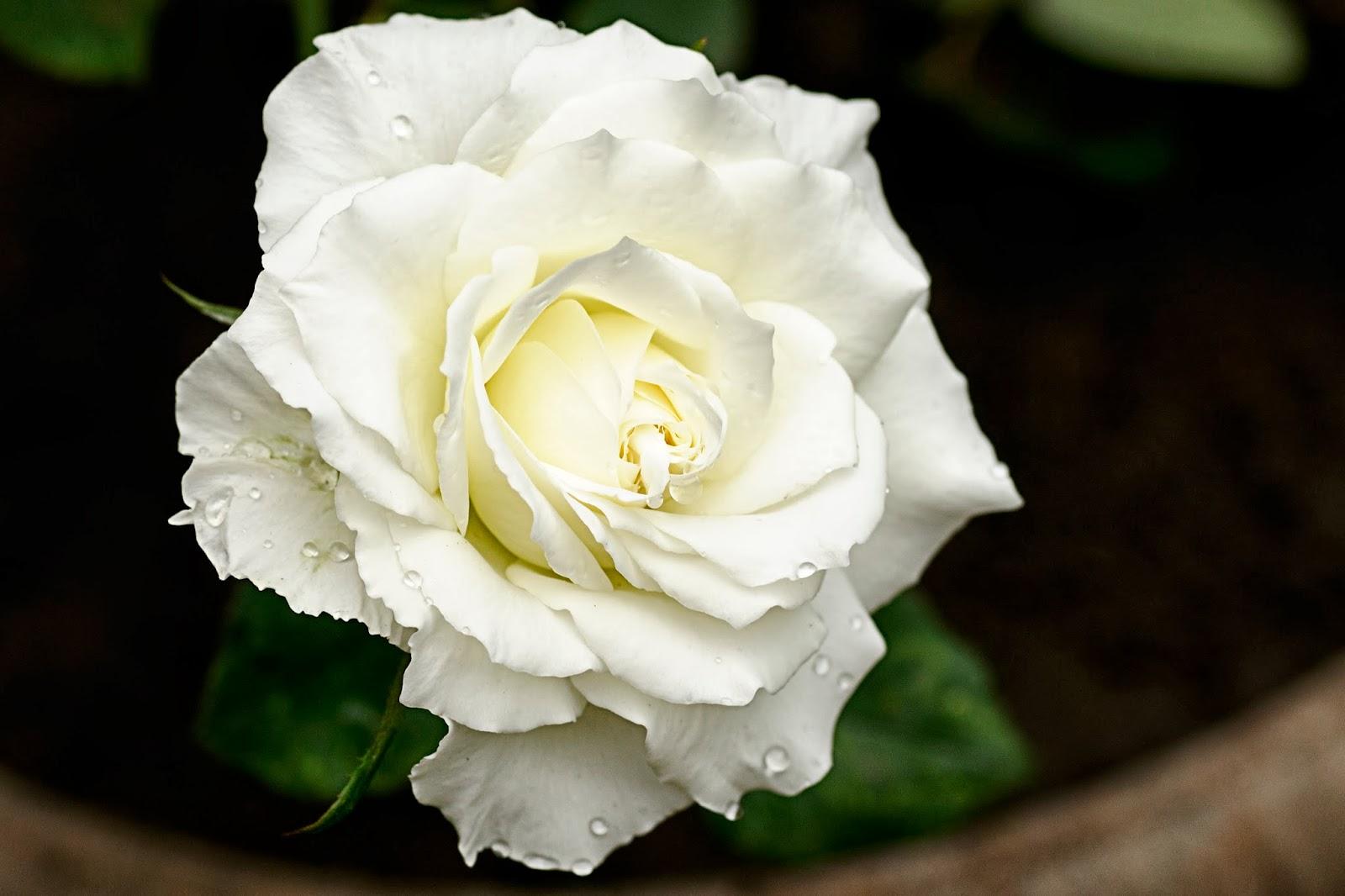 white rose flowers - photo #11