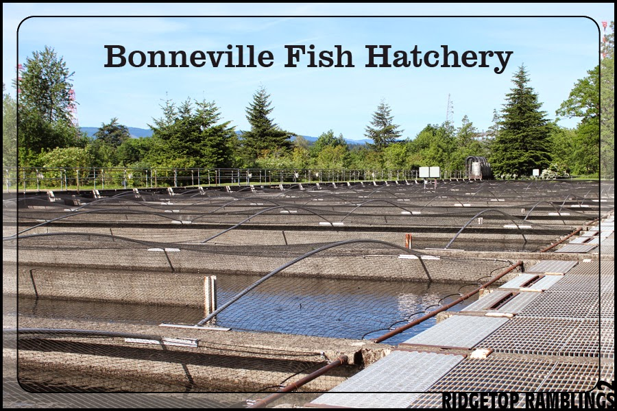 ridgetop ramblings 2 bonneville fish hatchery