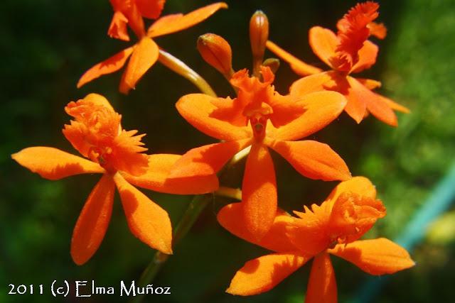 Orquideas del Peru : Epidendrum cochlioda