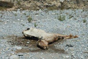 Mustang muerto por lesión al huir del helicóptero