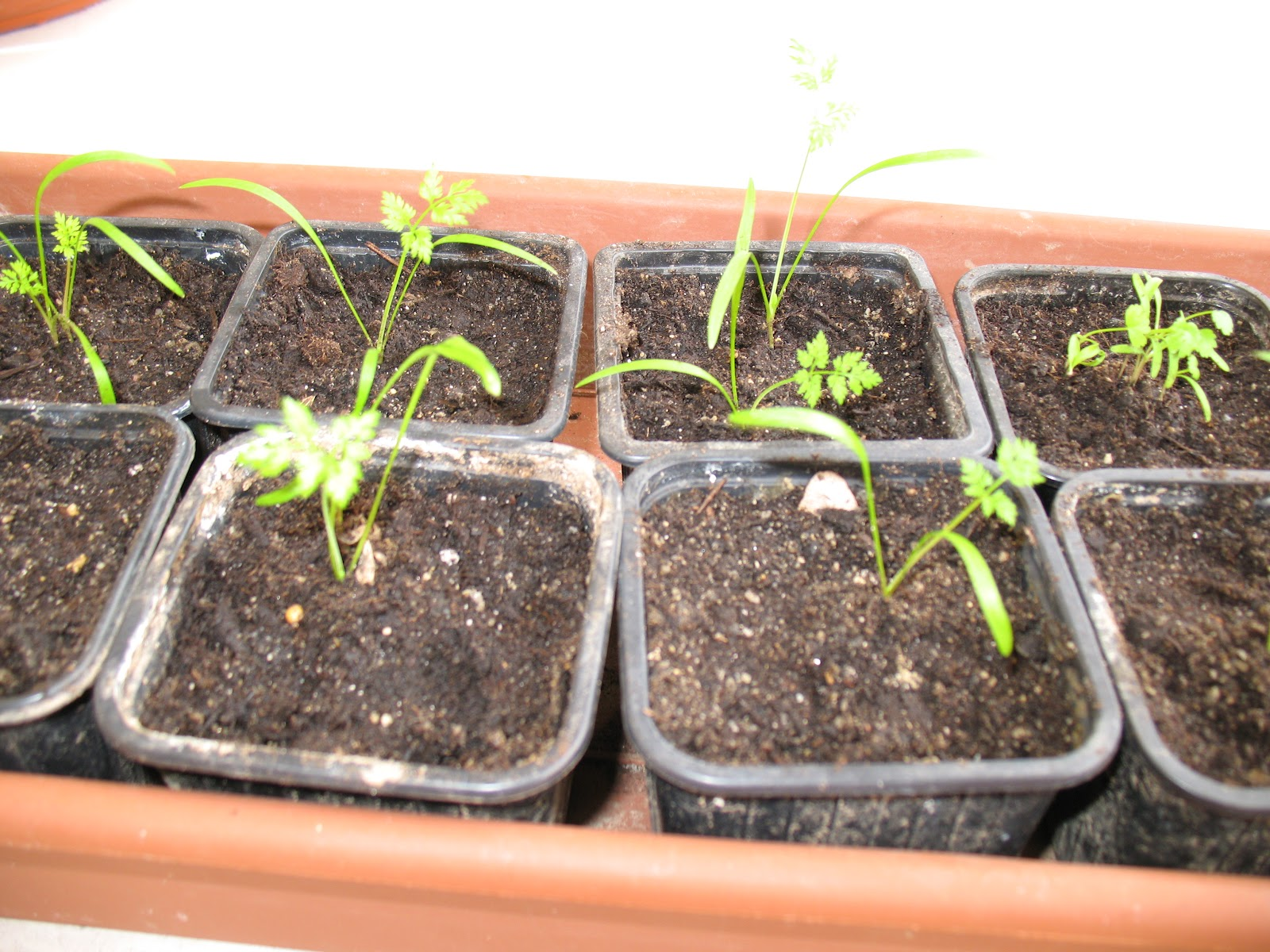 roses du jardin ch neland orlaya grandiflora white finch. Black Bedroom Furniture Sets. Home Design Ideas