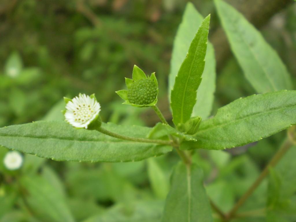 Herbalkart The Online Herbal Store Bhringaraja