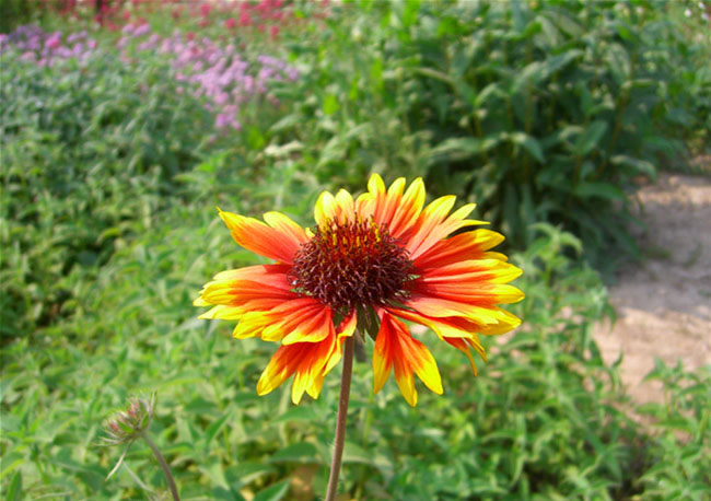 Blanket Flowers Pictures