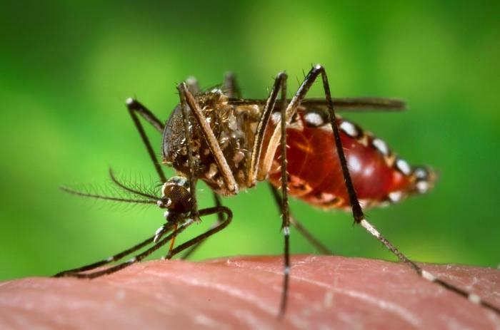 Hembra mosquisto especia Aedes Aegypti vector de la Fiebre Amarilla